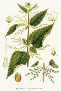 Brennessel als Heilpflanze